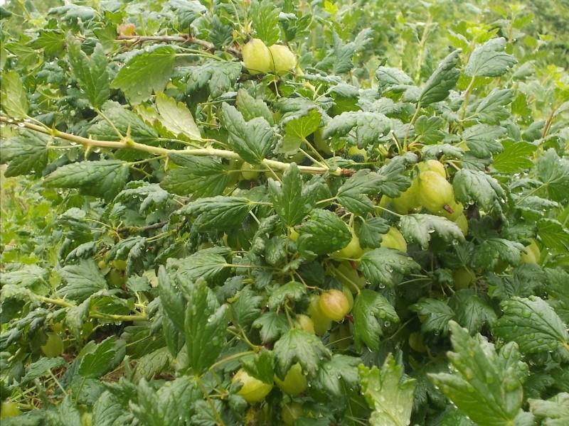 Fresh Gooseberries on the bushes